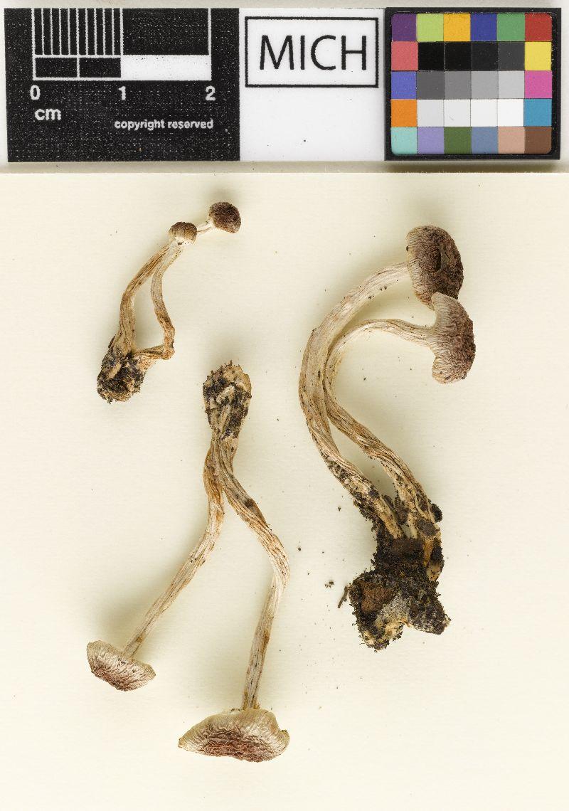 Hebeloma vinaceoumbrinum image