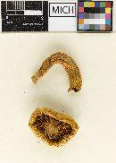 Hygrophorus laurae image