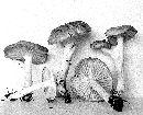 Hygrophorus pacificus image