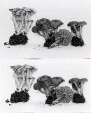 Camarophyllopsis subfuscescens image