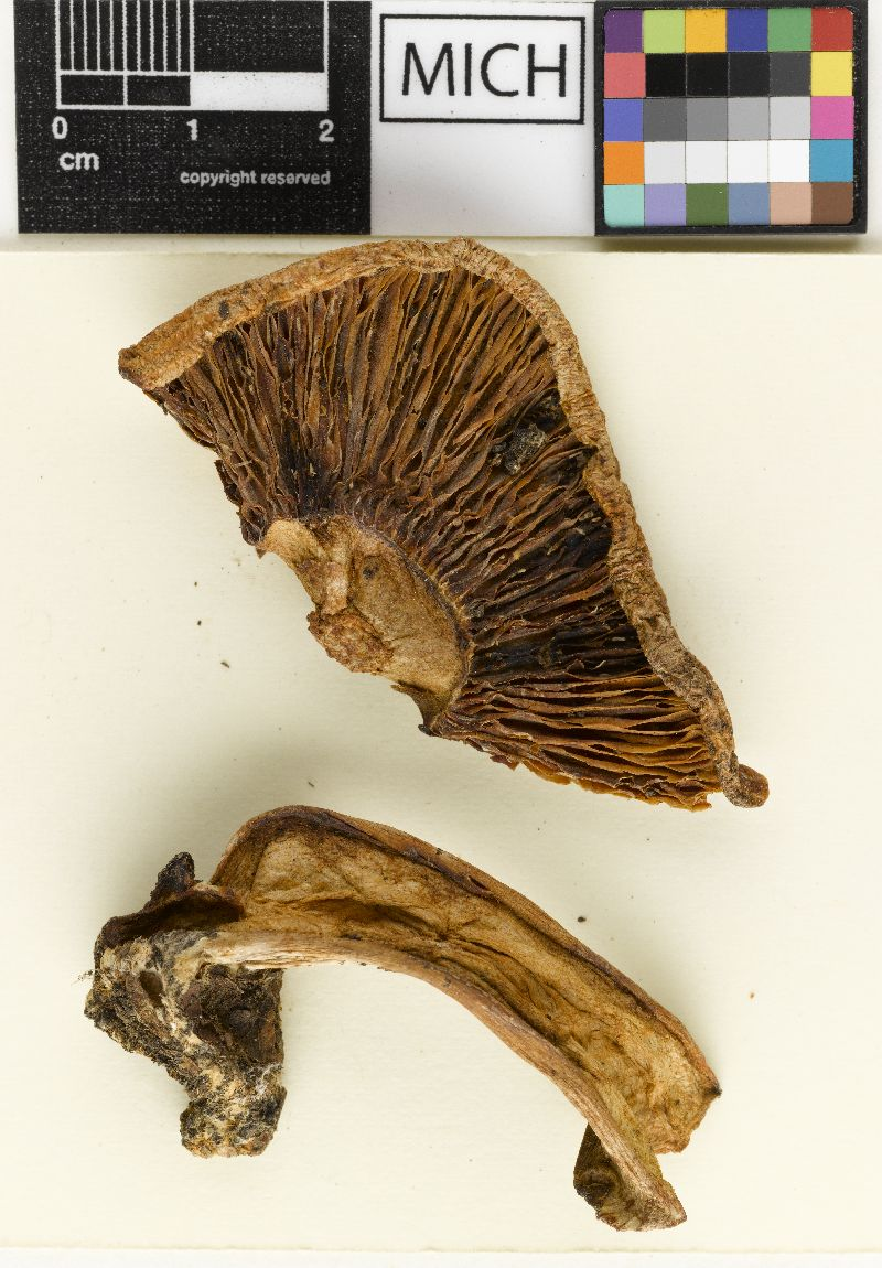 Lactarius aroostookensis image