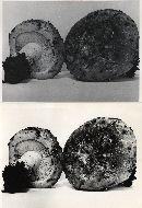 Lactarius pseudodeceptivus image