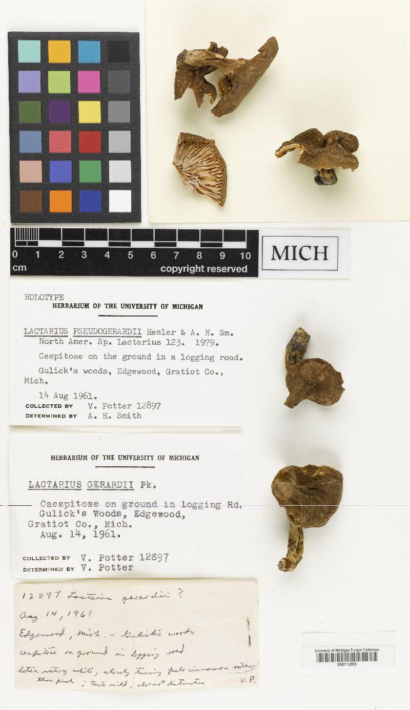 Lactarius pseudogerardii image