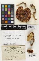 Lepiota fischeri image