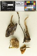 Lepiota fusispora image