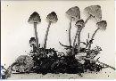 Mycena alnicola image