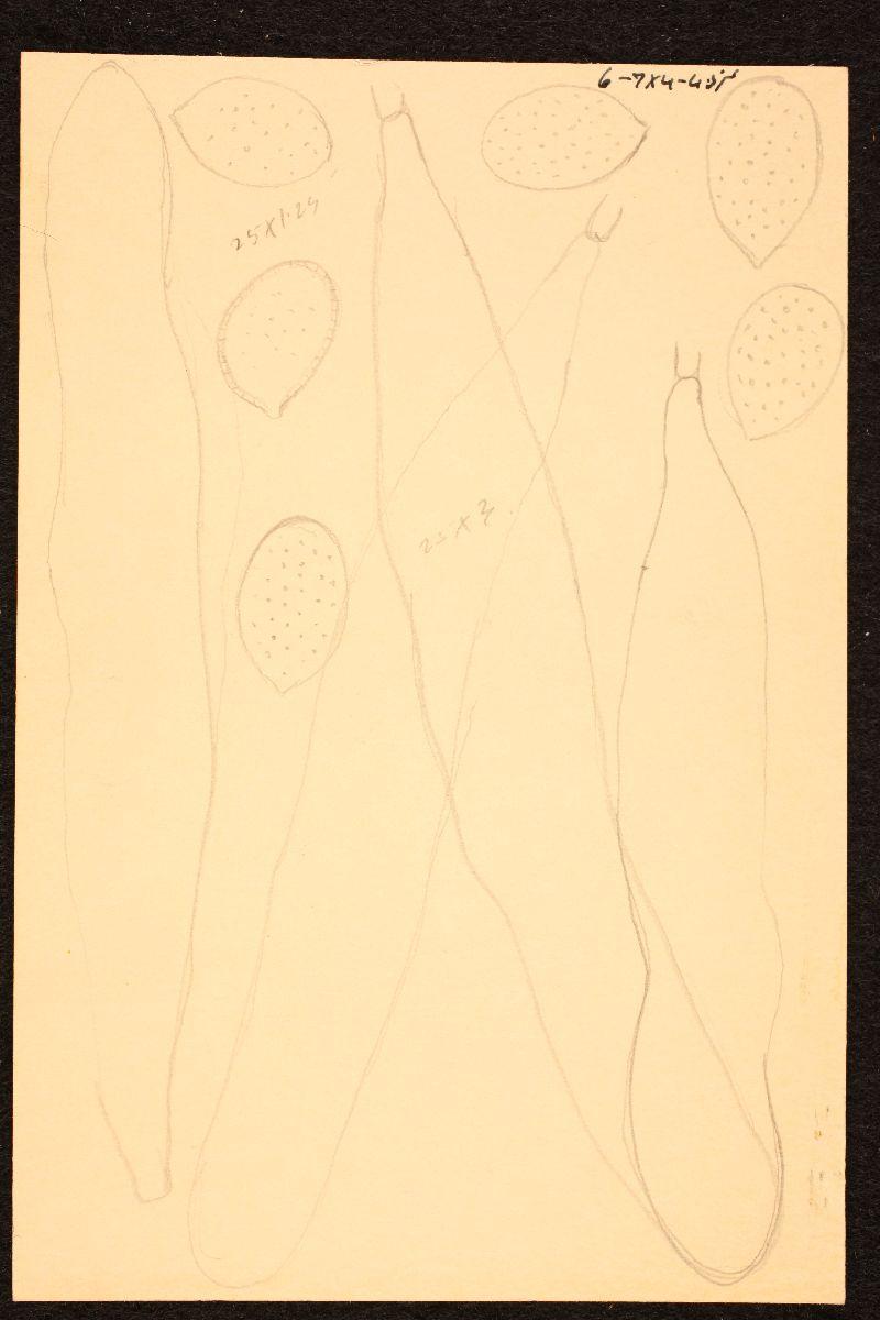 Mycena cineraria image