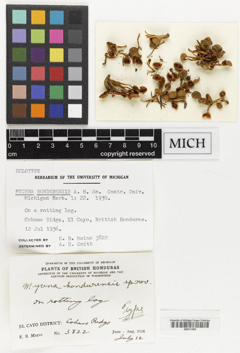 Mycena hondurensis image