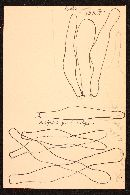 Resinomycena saccharifera image