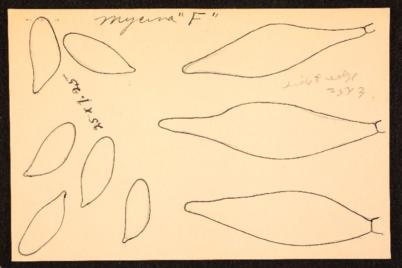 Mycena setulosa image