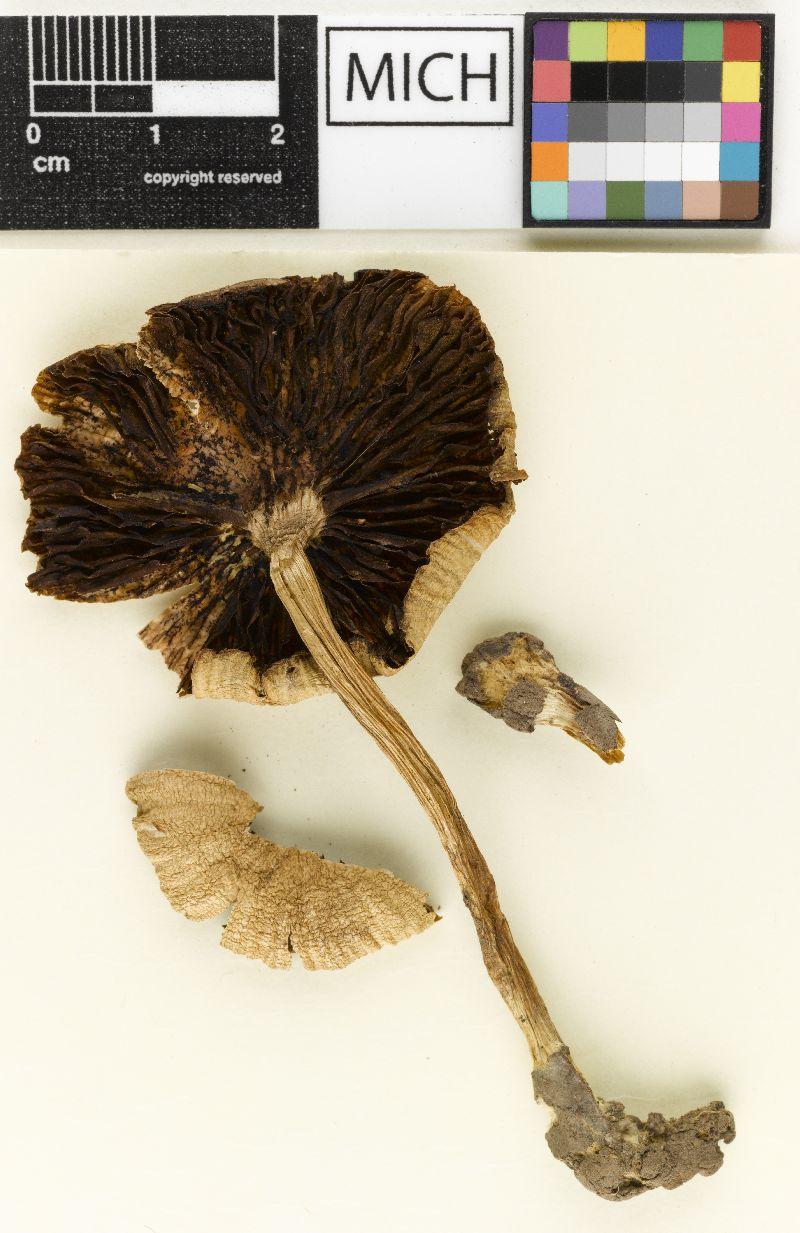 Psathyrella albescens image
