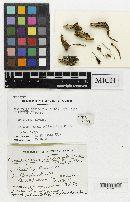 Hirsutella stylophora image