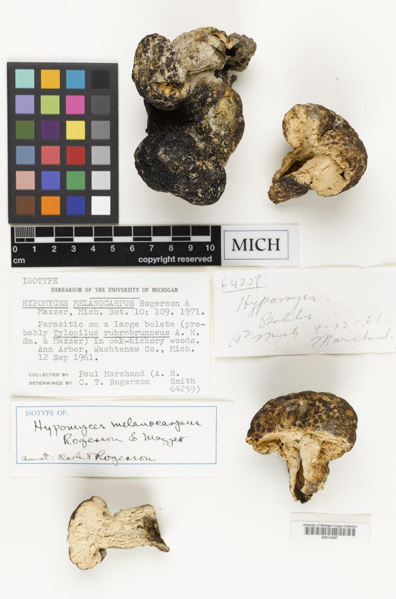Hypomyces melanocarpus image