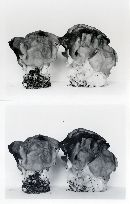 Gyromitra korfii image