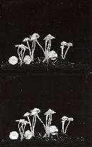 Hemimycena lactea image