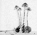 Mycenella trachyspora image