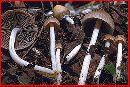 Psathyrella alnicola image