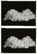 Rhizopogon ochraceorubens image