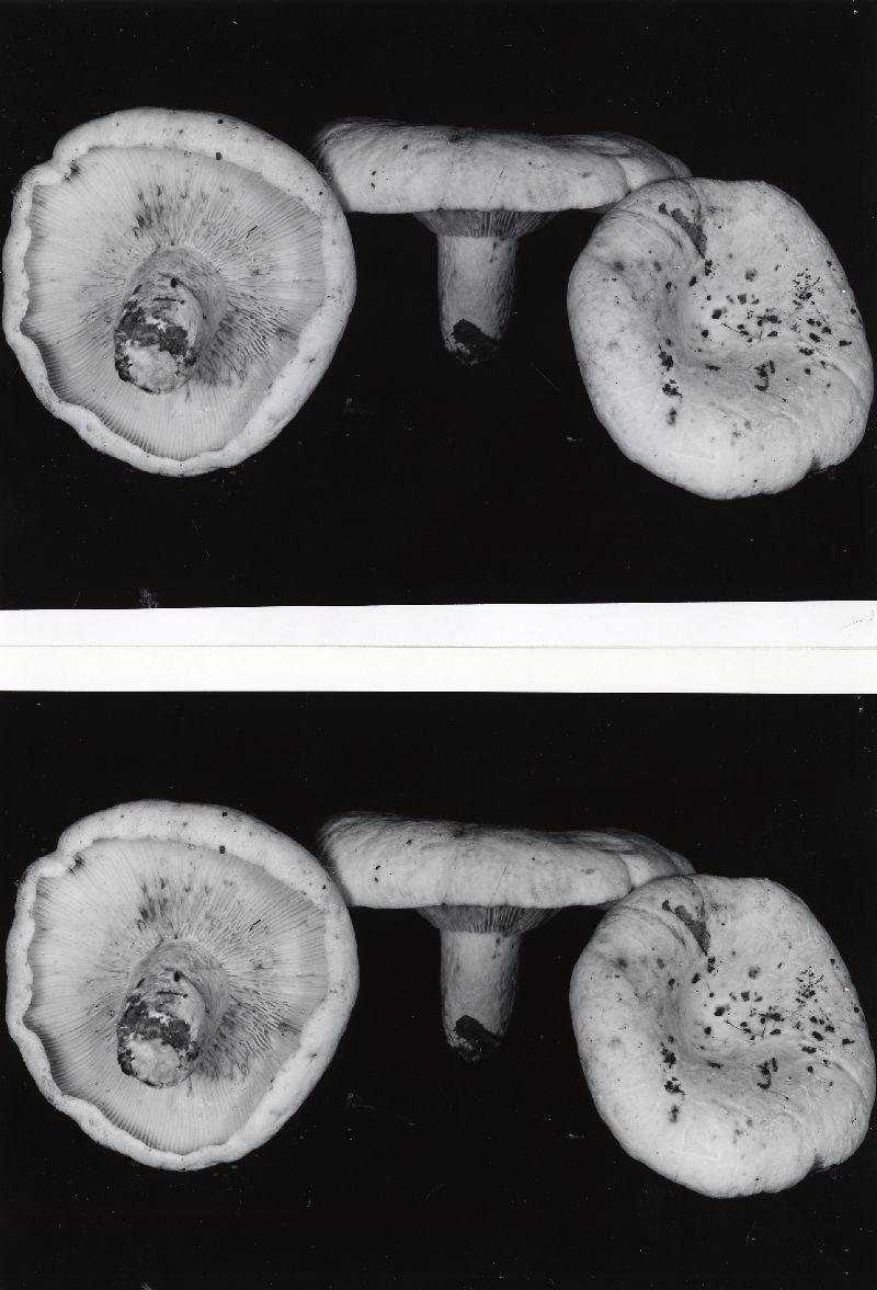 Lactarius vellereus var. vellereus image