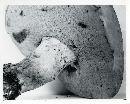 Boletus pseudopeckii image