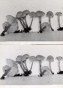Hygrophorus parvulus image