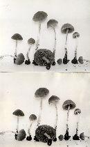Psathyrella cortinarioides image