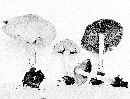 Psathyrella subagraria image