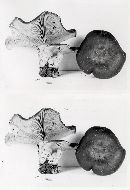 Clitocybe subalpina image