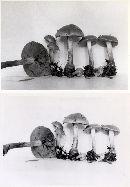 Hebeloma subhepaticum image