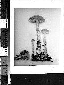 Heimioporus betula image