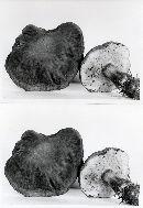 Boletus zelleri image