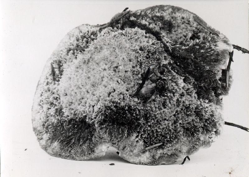 Hydnellum mirabile image