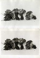 Hydnellum peckii image