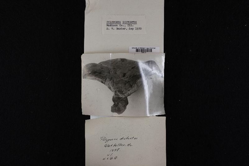 Antrodiella incrustans image