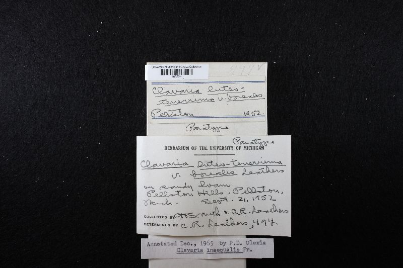 Ramariopsis luteotenerrima image
