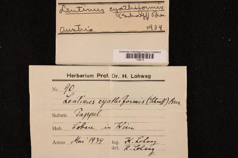 Lentinus cyathiformis image