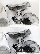 Lepista irina image