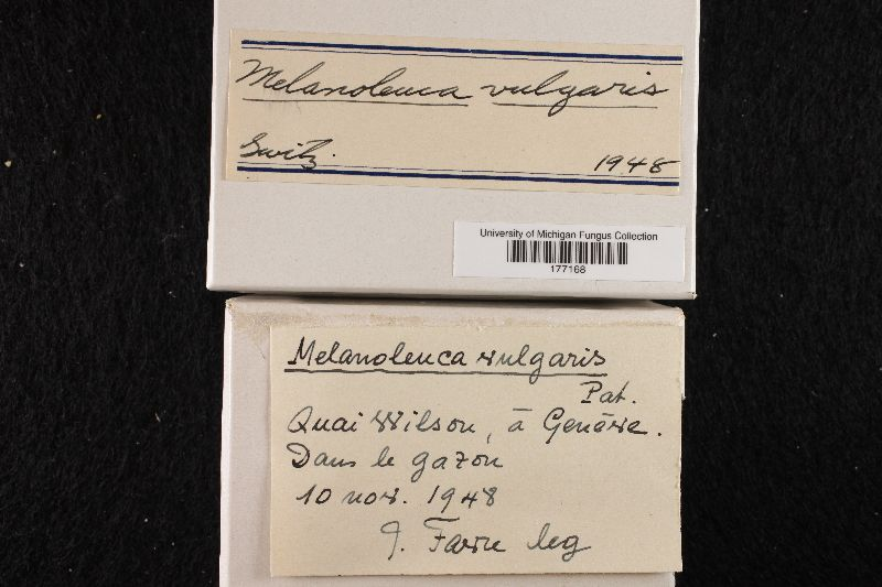 Melanoleuca polioleuca image