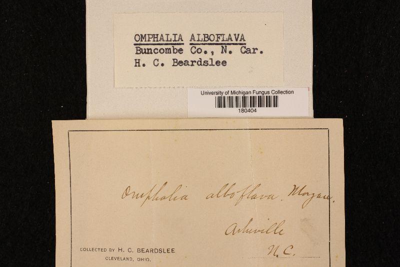 Omphalia alboflava image