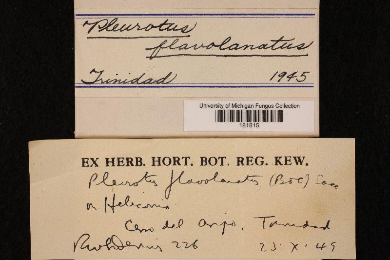 Pleurotus flavolanatus image