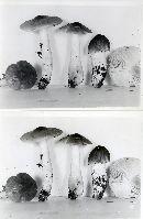 Tricholoma subsejunctum image