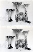 Tricholoma transmutans image
