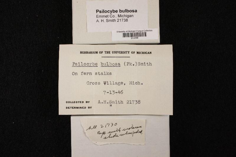 Psilocybe bulbosa image