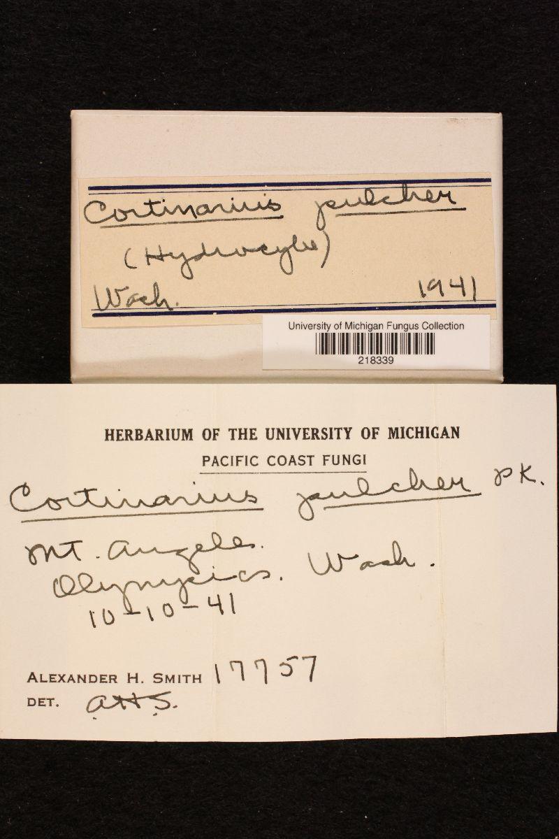 Cortinarius pulcher image
