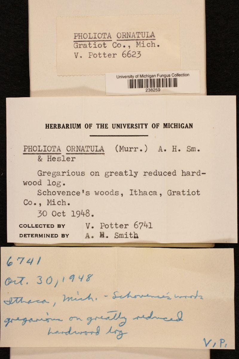 Pholiota ornatula image