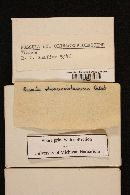 Russula olivaceoviolascens image