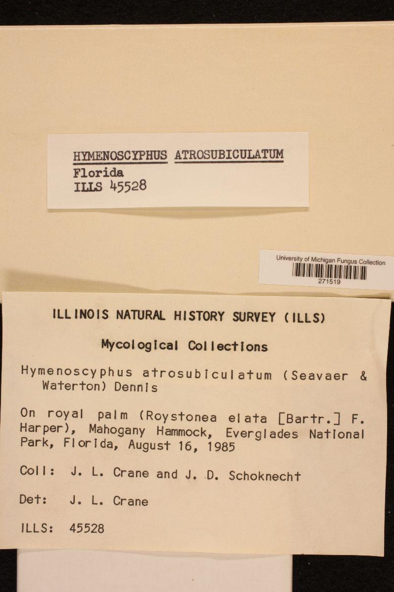Hymenoscyphus atrosubiculatus image