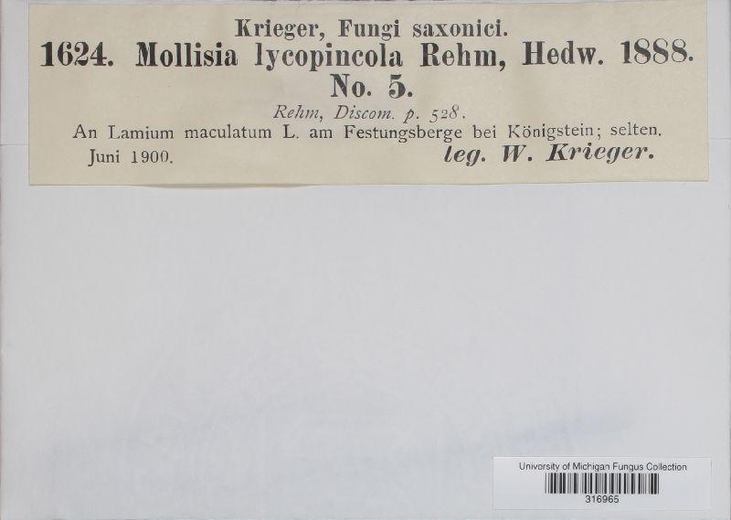 Mollisia lycopincola image