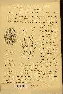 Image of Oidium monosporum