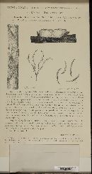 Gibberella baccata image